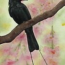 Racket-tailed Drongo by Andrea Gabriel