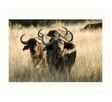 Buffalo - Okavango Delta, Botswana Art Print