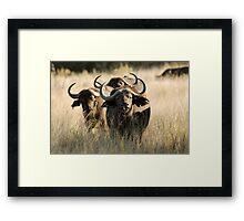 Buffalo - Okavango Delta, Botswana Framed Print