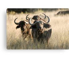 Buffalo - Okavango Delta, Botswana Metal Print