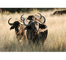 Buffalo - Okavango Delta, Botswana Photographic Print