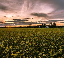 Sunset over Rapeseed.  by ScenicViewPics