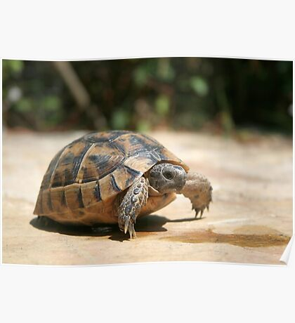 Portrait of a Young Wild Tortoise Poster