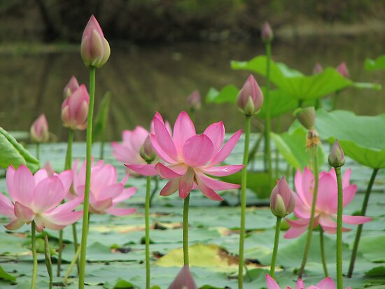 On Lotus Pond by NatureGreeting Cards ccwri