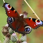 Peacock Butterfly by Neil Ludford
