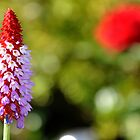 Red-Hot Poker Primrose by Kevin Cotterell