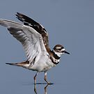 Killdeer by tomryan