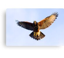 071409 Juvenile Harris Hawk Canvas Print