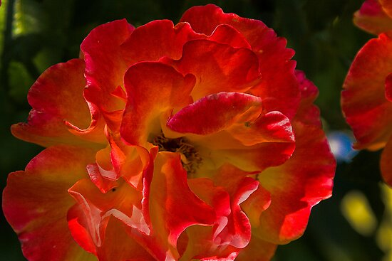 reddish rose by David Chesluk
