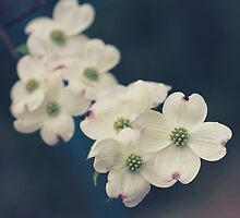 Dogwood Tree Blossoms  by jpulley