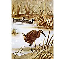 American Coot and Clapper Rail Photographic Print