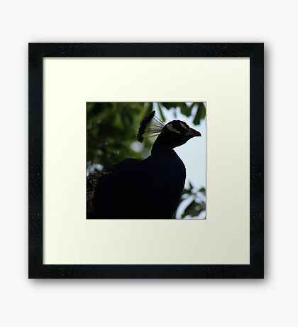 Perched Peacock in Shade Framed Print