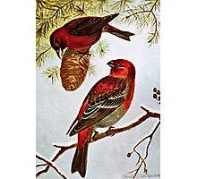 American Crossbill and Pine Grosbeak Photographic Print