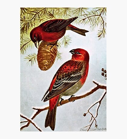 American Crossbill and Pine Grosbeak Photographic Print
