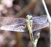 Dragonfly by Misty Lackey