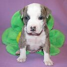 Cuteness is American Pit Bull Terrier Puppies by Ginny York
