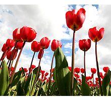 Tulip Fever Photographic Print