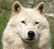 Portrait of an Arctic Wolf by Moxy