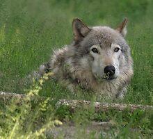 A Gray Timberwolf by Moxy