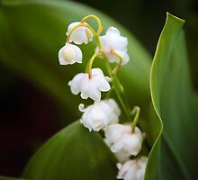 Lily of the Valley by Jessica Jenney