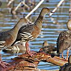 Plumed Whistling Ducks ~ Yep, where just another Duck by Robert Elliott