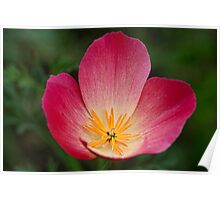 Four Petal Beauty Poster