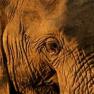Elephant close up by Graeme Shannon