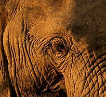 Elephant close up by Graeme Shannon
