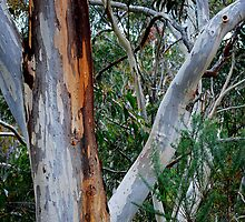 The Gum Tree by Bev Woodman