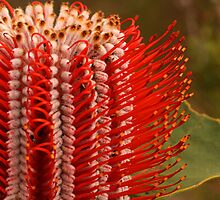 Banksia coccinea by wrighty