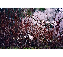 Sakura Branch Blossoming Out  Photographic Print