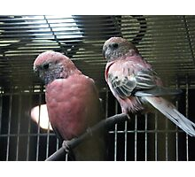 """Pink Parakeets"" Photographic Print"