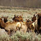 Elk Herd - Teton National Park by Stephen Beattie