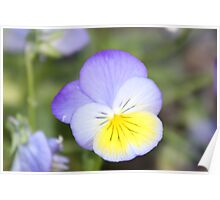 Multicolored Pansy Poster