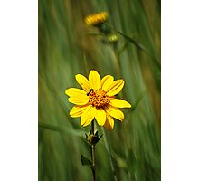 Yellow Wildflower - The Alpine Loop Photographic Print