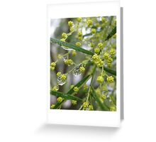 Wattle With Dew Drops Greeting Card
