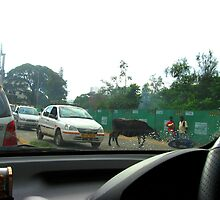 Cattle, In Traffic Battle! by Indrani Ghose