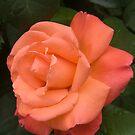 Zurich Rose I by Albert Crawford