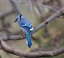 bluejay by paul gavin
