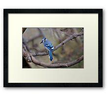 bluejay Framed Print