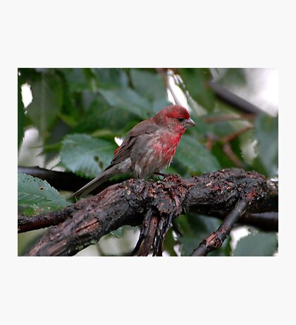 male finch Photographic Print