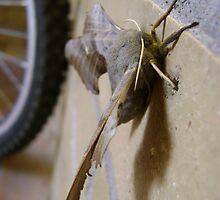Poplar Hawk-moth (Laothoe populi) by armadillozenith