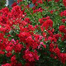 """RED"" CREPE MYRTLE BUSHES by Ruth Lambert"