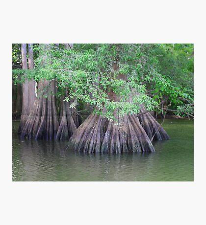 Cypress trees  Photographic Print