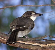 Grey Butcherbird ~ Immature by Robert Elliott