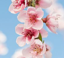 Nectarine blossoms by capturedbyme