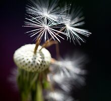 Dandelion by Cathy Middleton
