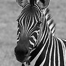 Zebra by Maureen Clark
