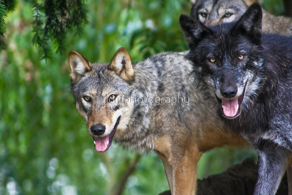 Pack of Timber Wolves ........ by jdmphotography