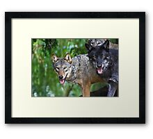 Pack of Timber Wolves ........ Framed Print